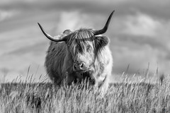 Dartmoor Highland Cattle (pm69photography.uk) Tags: bw blackandwhite highlandcattle devon dartmoor dartmoornationalpark southwest sony sonya7r3 sonya7riii horns moody moors bokeh postbridge