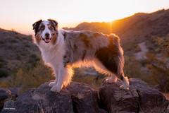 Desert Sunrise with a Pooch (43/52) (Jasper's Human) Tags: 52weeksfordogs aussie australianshepherd dog desert sunrise