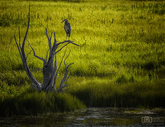 Are you heron that? (Dave Arnold Photo) Tags: wy wyo wyoming yellowstone national madisonriver sky summer image pic us usa picture waterfall photo photograph photography photographer davearnold arnold davearnoldphotocom beautiful fantastic travel scenic cloud grass outdoor canon 5d mkiii 24105mm exposure huge big canyon perfect landscape nature le park water forest country natural creek river falls log fall milky american west gibbon tree heron blue