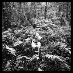 2019-10 H BW R03 010 (kccornell) Tags: harper catahoula leopard hound cur dog fern forest swamp landscape acadiana park north tract lafayette louisiana trail hasselblad 500c 120 film medium format kodak tmax 400 push 3200 6x6