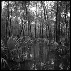 2019-10 H BW R03 006 (kccornell) Tags: palmetto forest swamp landscape acadiana park north tract lafayette louisiana trail hasselblad 500c 120 film medium format kodak tmax 400 push 3200 6x6