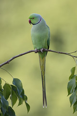 Rose-ringed Parakeet (Psittacula krameri) (SharifUddin59) Tags: roseringedparakeet parakeet psittaculakrameri parrot uhm uhmanoa honolulu hawaii bird nature wildlife animal