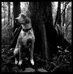 2019-10 H BW R03 005 (kccornell) Tags: harper catahoula leopard hound cur dog forest swamp landscape acadiana park north tract lafayette louisiana trail hasselblad 500c 120 film medium format kodak tmax 400 push 3200 6x6