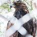 Golden eagle, Phoenix Zoo