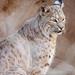 Bobcat, Phoenix Zoo