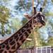 Giraffe, Phoenix Zoo