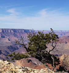 Birds at Grand Canyon National park (Constantine L.) Tags: bird says phoebe grand canyon national park arizona landscape background nature outdoor tree southern rim desert view outside