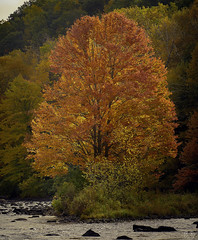 Tree, Millers Falls (3168) [4] 2 ((8_8)) Tags: trees treeline autumninnewengland autumn foliage fall massachusetts pioneervalley color colorful millersriver millers falls millersfalls sonya7ii sonyfe70200mmf28gmoss landscape landscapephotography light fantasticnature