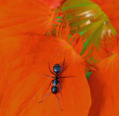 Carpenter Ant on Nasturtium (ctberney) Tags: black ant red flower garden macro nature ontario canada