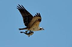 Osprey and Fish: Flying Away! (rambokemp) Tags: osprey fish bif birdinflight birdinfligh canonef600mmf4liiisusm canoneos1dxmarkii wetlands wetland phoenixarizona wildlife wilderness bluesky pond raptor raptors