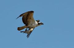Osprey and Fish: Breakfast Time! (rambokemp) Tags: osprey fish bif birdinflight birdinfligh canonef600mmf4liiisusm canoneos1dxmarkii wetlands wetland phoenixarizona wildlife wilderness bluesky pond raptor raptors