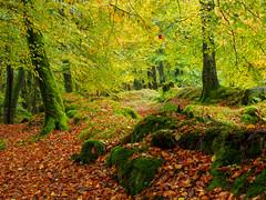 Trees Oct 2019 (kckelleher11) Tags: 1240mm 2019 ireland nature olympus em1 mzuiko october omd wicklow fall autumn trees leaves light green