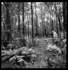 2019-10 H BW R03 011 (kccornell) Tags: fern palmetto forest swamp landscape acadiana park north tract lafayette louisiana trail hasselblad 500c 120 film medium format kodak tmax 400 push 3200 6x6