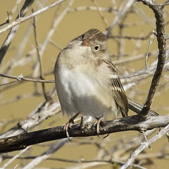 field sparrow (material guy) Tags: fieldsparrow massaudubon plumisland parkerrivernwr newburyport massachusetts