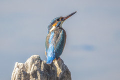eurasian kingfisher / martin pescador (jjulio2311) Tags: kingfisher blue bird nature naturephotography water wood ligth alcion spain españa lake animal atthis alcedo coth5 ngc npc