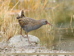 Water Rail (Rallus aquaticus) (gilgit2) Tags: avifauna birds borit canon canoneos7dmarkii category fauna feathers geotagged gilgitbaltistan gojal imranshah location nature ornithology pakistan species tags tamron tamronsp150600mmf563divcusd waterrailrallusaquaticus wildlife wings gilgit2 rallusaquaticus