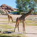 Giraffes, Phoenix Zoo