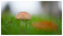 Blusher (leo.roos) Tags: mushroom mushrooms fungus fungi paddenstoel paddestoel paddenstoelen paddestoelen schimmel schimmels zwam zwammen natur fung aarde bokeh bokhnatur a7rii 7artisansdjoptical5011 7artisans5011 leicam darosa leoroos blusher parelamaniet amanitarubescens