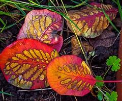 Fourlorn (L@nce (ランス)) Tags: macro leaves leaf fall autumn fallen decay jamesbay victoria nikon nikkor micro
