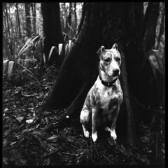 2019-10 H BW R03 004 (kccornell) Tags: harper catahoula leopard hound cur dog forest swamp landscape acadiana park north tract lafayette louisiana trail hasselblad 500c 120 film medium format kodak tmax 400 push 3200 6x6