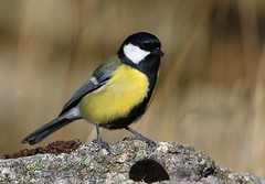 "Chapim-real ""Parus major"" (Joaquim Antunes) Tags:"