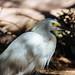 Snowy egret, Phoenix Zoo