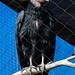 California condor, Phoenix Zoo