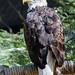 Bald eagle, Phoenix Zoo