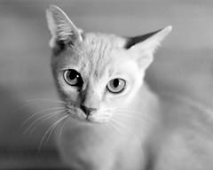Kitty (Ranta Janne) Tags: animal cat eläin finland kissa kitten lemmikki nikond50 pet publicdomain suomi burmese