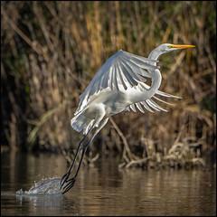 Swamp Angel (Rodrick Dale) Tags: egert takeoff bird white flight water humber river toronto ontario canada