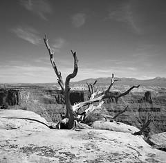 Desert Tentacles (Tim Roper) Tags: landscape mamiya6 deadhorsestatepark film hc110 hp5 6x6 medium format utah juniper