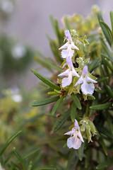 (Ludo Silvagni) Tags: rosmarino lamiaceae plantae plants rosmarinusofficinalis fiori macro flower flowers giardino ludosilvagni