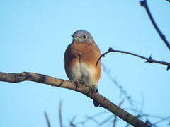 Eastern Bluebird, Possum Kingdom Lake, October 26, 2019 (gurdonark) Tags: eastern bluebird bird birds wildlife possum kingdom texas lake