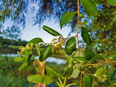 Ziziphus mauritiana Lamk. Rhamnaceae - Indian Jujube, พุทรา 1e (SierraSunrise) Tags: thailand phonphisai nongkhai isaan esarn plants trees flowers paleyellow fruittrees jujube rhamnaceae ziziphus