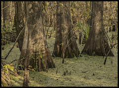 Lake Woodruff NWR #10 2019; Three Bald Cypress (hamsiksa) Tags: florida ecosystems wetlands swamps cypressswamps plants flora trees baldcypress taxodiumdistichum duckweed lemna lakewoodruff stjohnsriverbasin palms