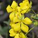 Hibbertia polyancistra