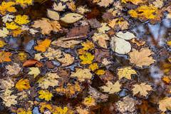 Floating (ramseybuckeye) Tags: leaves water fallen fall autumn color pentax art blendon woods meteropark columbus ohio
