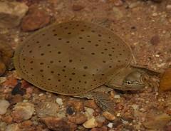 (smashtonlee05) Tags: turtle missouri stream ozarks softshell apalone spinifera nikon macro river flikr nature mo conservation ashton smith rocks water snorkeling d3300 reptile