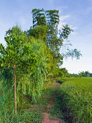Paddy Trail e (SierraSunrise) Tags: thailand phonphisai nongkhai isaan esarn trees paddy ricepaddies farming agriculture