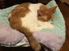 Fizzy (Philosopher Queen) Tags: fizzy orangetabbycat kitty cat gato sweet