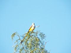 Scissor-Tailed Flycatcher, October 26, 2019, Possum Kingdom Lake, Palo Pinto County, Texas (gurdonark) Tags: birds wildlife scissortailed flycatcher possum kingdom lake palo pinto county texas