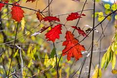 Autumn - Leaves - 1187 (Peter Goll thx for +14.000.000 views) Tags: 2018 autumn natur leaves blätter herbst dechsendorf nature erlangen bayern deutschland