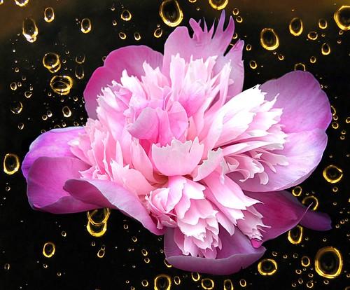 Brampton Ontario - Canada - Alderlea Mansion  - Garden- Flower - Peony  - Bokehs