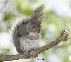 Eastern Grey Squirrel (Diane G. Zooms---Mostly Off) Tags: squirrel squirrelphotos wildlife nature easterngreysquirrl dianegiurcophotography alittlebeauty bestofsquirrels sunrays5 coth coth5 ngc npc fantasticnature