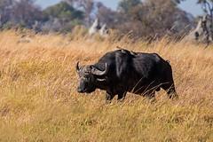 Buffalo (and passengers) (ralf galloway) Tags: botswana safari 2019 buffalo