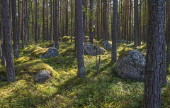 pines and boulders (Seerin Kama) Tags: pine boulder forest woods landscape käsmu coast pentax k5