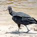 Brazil-00680 - Black Vulture
