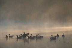 (Laetitia.p_lyon) Tags: fujifilmxt2 lyon parcdelatêtedor lac lake oie oiseau bird goose geese brume mist haze