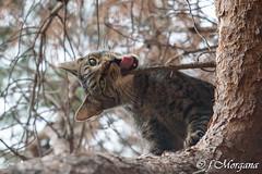 (fatamorgana.cb) Tags: cat wildcat gatto