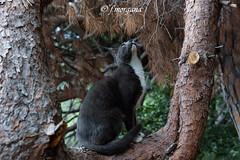 (fatamorgana.cb) Tags: wildcat cat gatto
